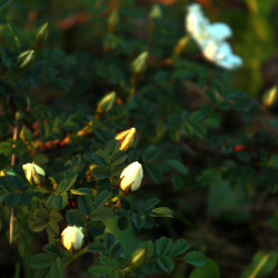 Rosa pimpinellifolia 'Repens'