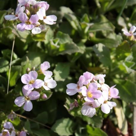 Arabis caucasica f. rosea