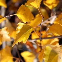 Betula tianschanica