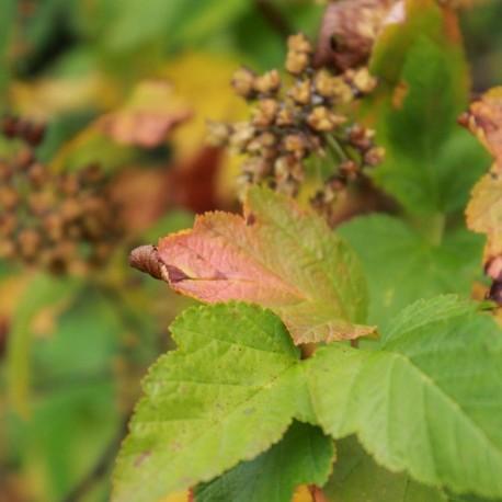 Physocarpus amurensis