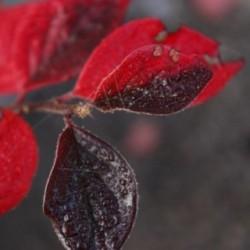 Cotoneaster boisianus