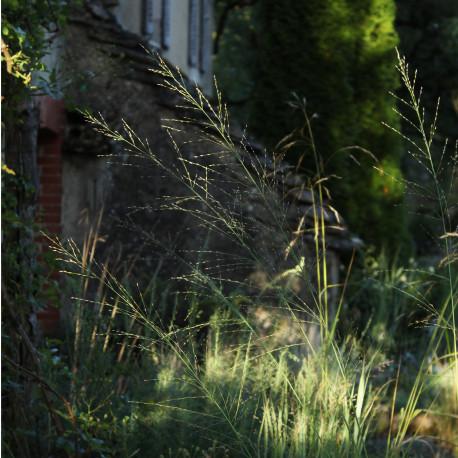 Molinia caerulea ssp. arundinacea 'Transparent'