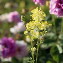 Thalictrum flavum ssp. glaucum