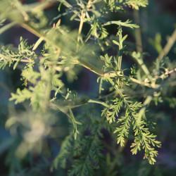 Artemisia aff. santolinifolia