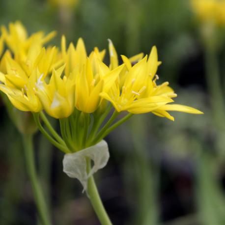 Allium molly