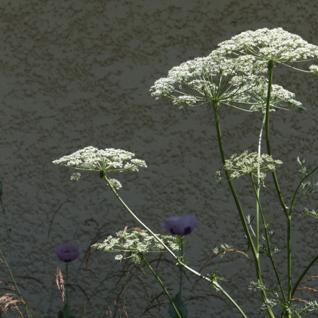 Xanthoselinum alsaticum subsp. venetum