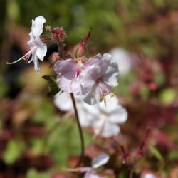 Geranium cantabrigiense x 'St Ola'