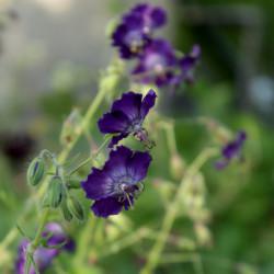 Geranium phaeum 'Lilly Lovell'