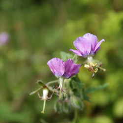 Geranium phaeum var. lividum