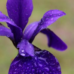 Iris sibirica 'Pansy Purple'