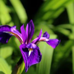 Iris versicolor 'Berlin Versilaev'