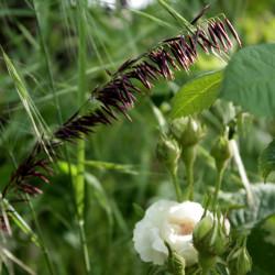 Melica altissima 'Atropurpurea'