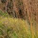 Molinia caerulea ssp. arundinacea 'Karl Foerster'
