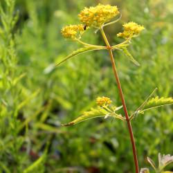 Patrinia heterophylla
