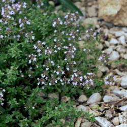 Thymus pallasianus