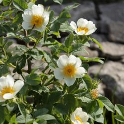 Rosa achburensis