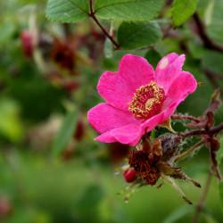 Rosa sweginzowii