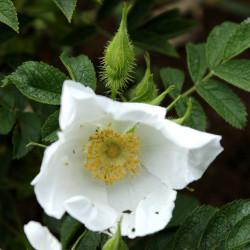 Rosa x micrugosa 'Alba'