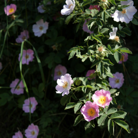 Rosa x terebinthinacea