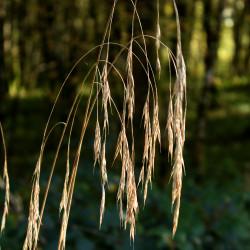 Bromus ramosus