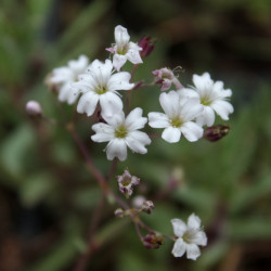 Gypsophila repens