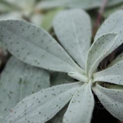 Pilosella officinarum f. niveum