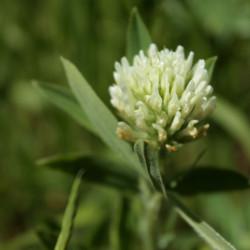 Trifolium ochroleucon
