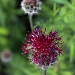 Centaurea atropurpurea