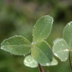 Trifolium trichocephalum