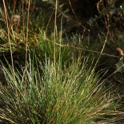 Festuca yvesii subsp. yvesii