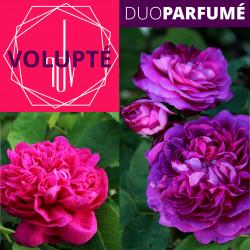 "Duo Parfumé_ ""Volupté"""