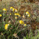 Anthyllis vulneraria