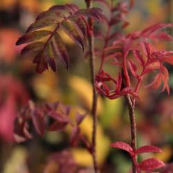 Sorbus 'Rose Queen'