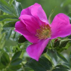 Rosa x spaethiana