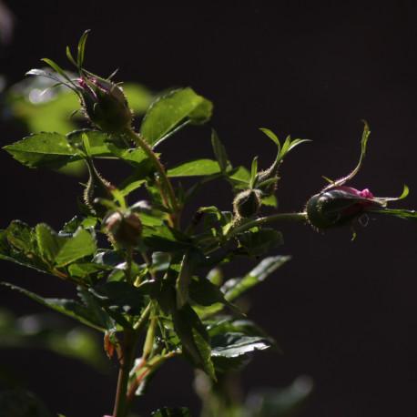 Rosa x rapa