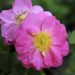 Rosa rubiginosa 'Duplex'