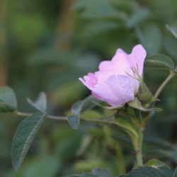 Rosa villosa 'Karpatia'