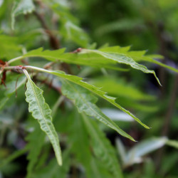 Fagus sylvatica 'Aspleniifolia'