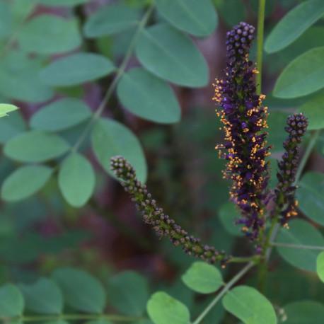 Amorpha aff. glabra