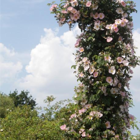 Rosa x polliniana