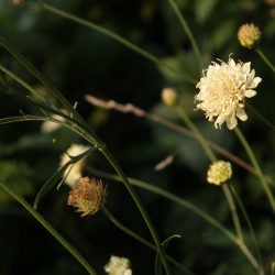 Cephalaria uralensis
