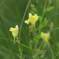 Linaria dalmatica subsp. genistifolia