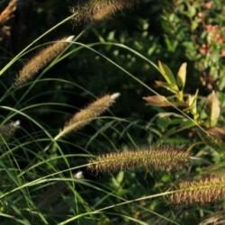 Pennisetum alopecuroides 'Japonicum'
