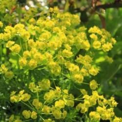 Euphorbia cyparissias 'Tall Boy'