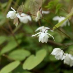 Epimedium youngianum x 'Niveum'