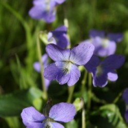 Viola sororia 'Blue Diamond'