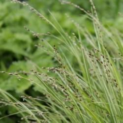 Melica uniflora 'Variegata'