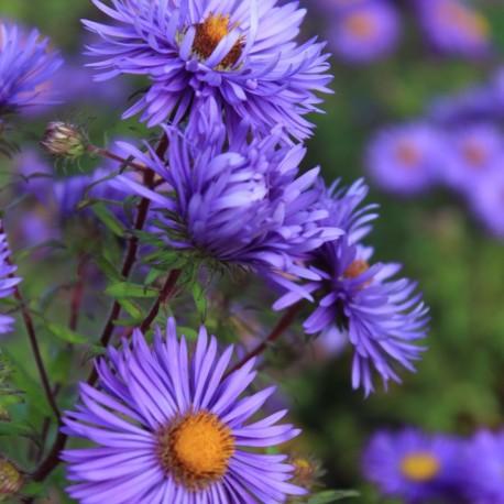Aster novae-angliae 'Barr's Blue'