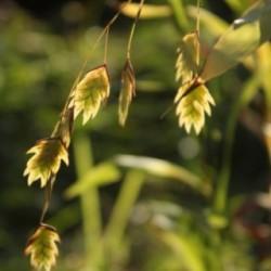 Chasmanthium latifolium