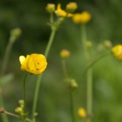 Ranunculus giganteus